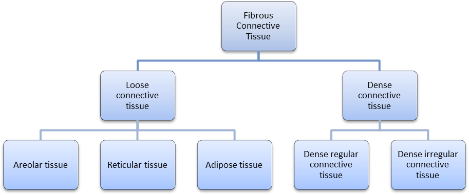 Connective Tissue Diagram Fibrous connective tissue