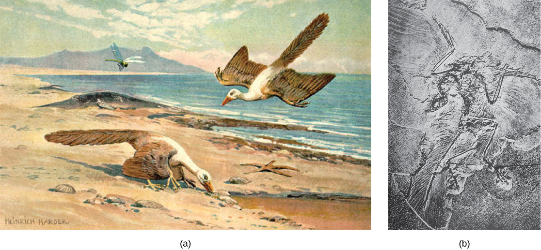 Part a shows a bird on the ground, and another coasting toward the ground. Part b shows a fossilized bird, with feathers visible.