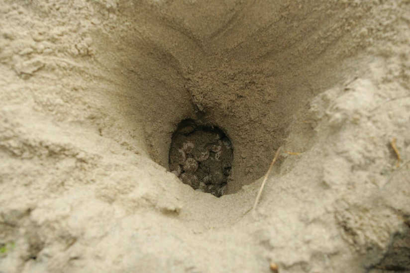 A deep hole is shown dug into sand with marks from claws apparent. At the bottom of the hole are sand covered eggs.