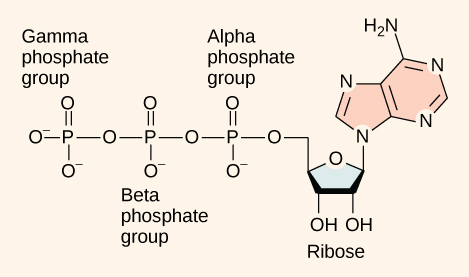 ATP (adenosine triphosphate) has three phosphate groups that can be removed by hydrolysis to form ADP (adenosine diphosphate) or AMP (adenosine monophosphate).