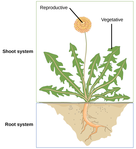 Root And Leaf Structure
