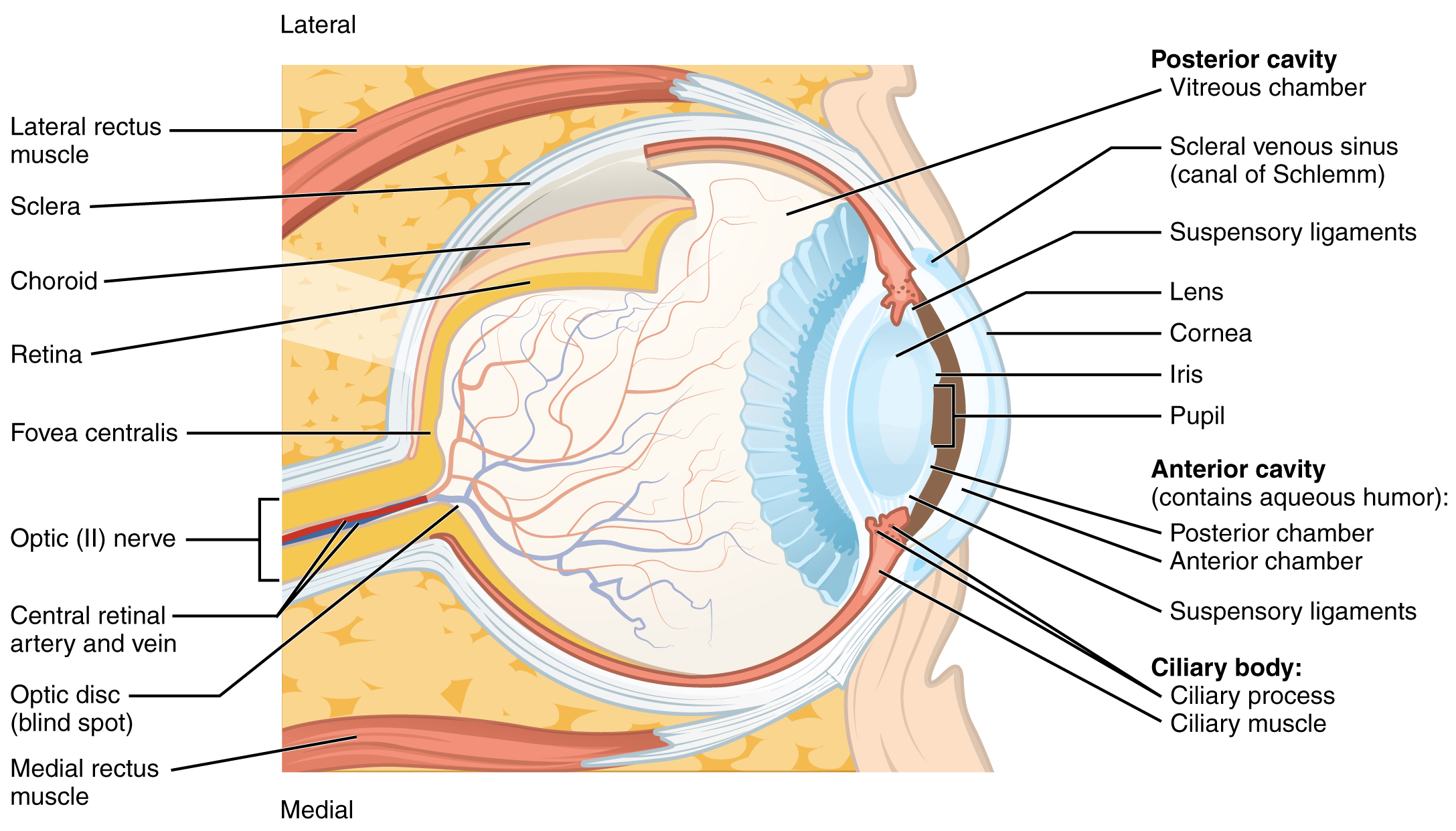 This diagram shows the structure of the eye with the major parts ...