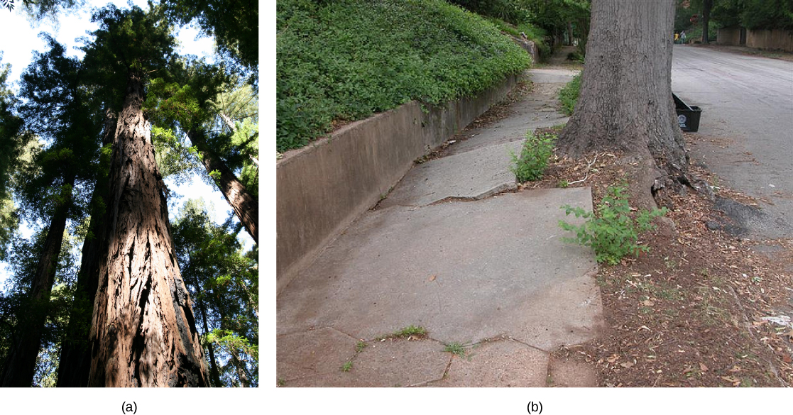 Photo (a) shows the brown trunk of a tall sequoia tree in a forest. Photo (b) shows a grey tree trunk growing between a road and a sidewalk. The roots have started to lift up and crack the concrete slabs of the sidewalk.