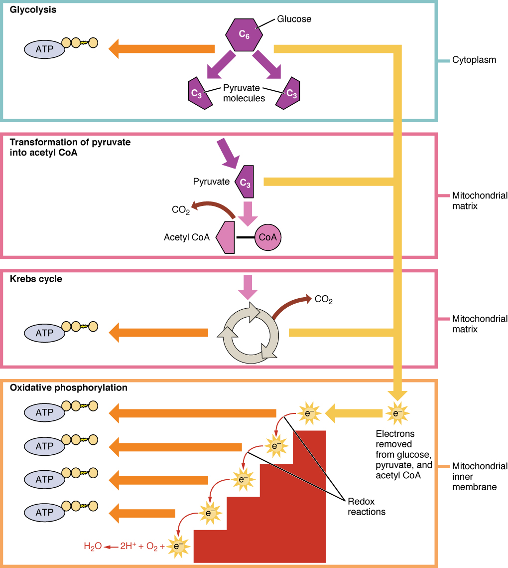 Carbohydrate Metabolism - Anatomy & Physiology: Energy, Maintenance ...