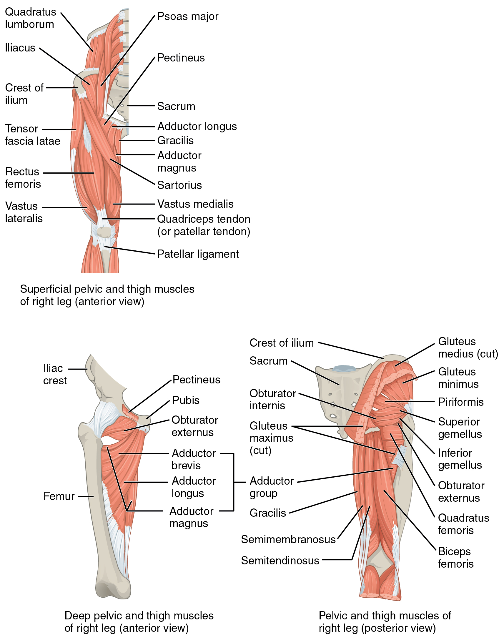 Appendicular Muscles Of The Pelvic Girdle And Lower Limbs Anatomy