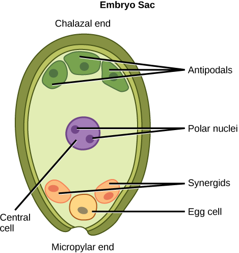 Reproductive development and structure hugh testing openstax biology illustration depicts the embryo sac of an angiosperm which is egg shaped the ccuart Image collections