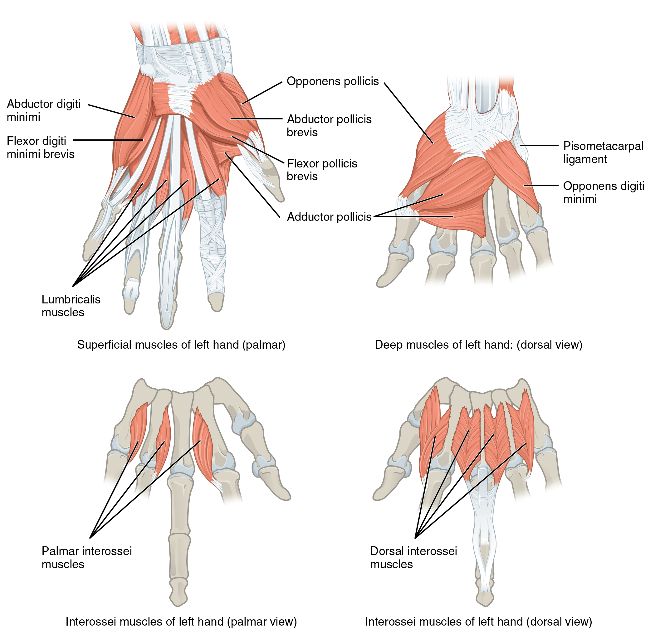 Intrinsic Muscles of Hand http://cnx.org/content/m46495/latest/