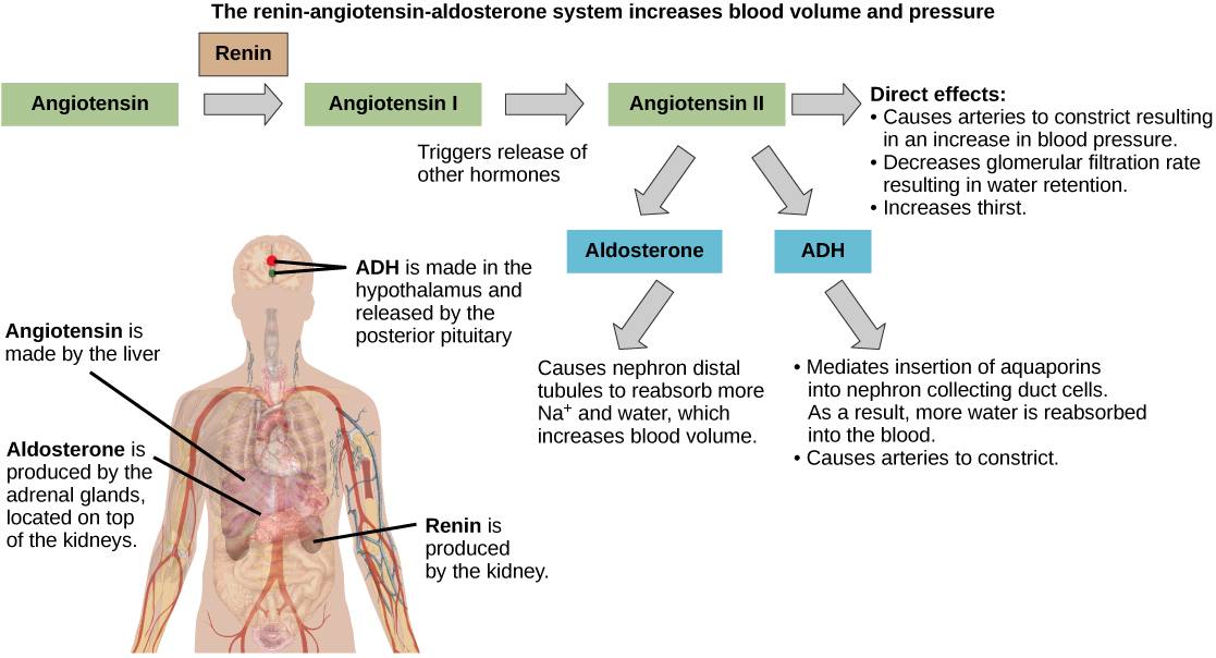 Hormonal Regulation by ADH and Aldosterone