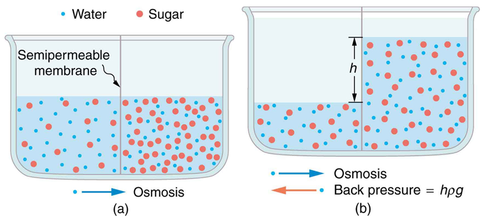 osmosis and dialysis -define: diffusion, selectively permeable membrane, osmosis, and dialysis - understand rule of thumb: concentration will always go from higher concentration to lower concentration -know how hypertonic, hypotonic, isotonic effect the bags (cells) in the osmosis experiment -know how to calculate the cumulative percent.