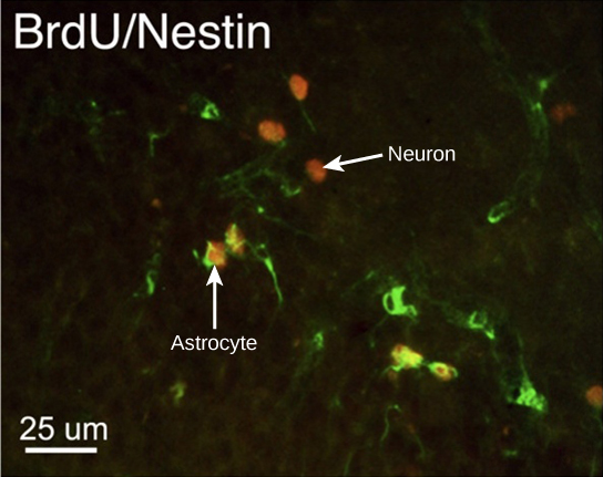 In the micrograph, several cells are fluorescently labeled green only. Three cells are labeled red only, and four cells are labeled green and red. The cells labeled green and red are astrocytes, and the cells labeled red are neurons. The neurons are oval and about ten microns long. Astrocytes are slightly larger and irregularly shaped.