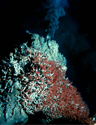 Hydrothermal Vent on the Sea Floor. A grey cone-shaped vent, covered with tubeworms, dominated the left side of this photograph. An inky-black cloud of vent fluid spews from the top of the vent.