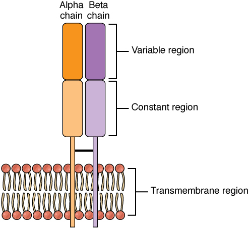 This figure shows the alpha beta T cell receptor in the plasma membrane.