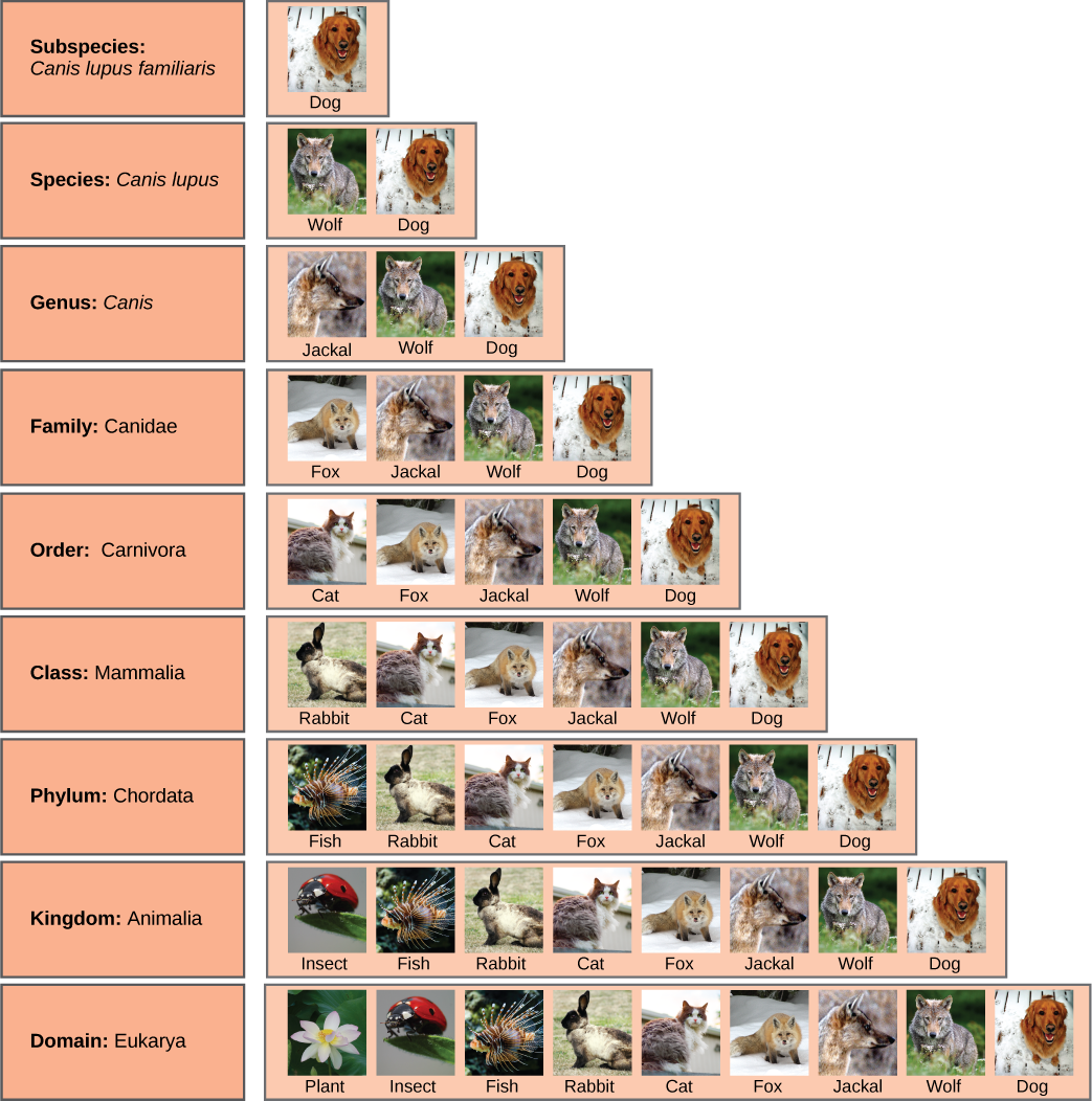 Illustration shows the taxonomic groups shared by various species. All of the organisms shown are in the domain Eukarya: plants, insects, fish, rabbits, cats, foxes, jackals wolves, and dogs. Of theses, insects, fish, rabbits, cats, foxes, jackals, wolves and dogs are in the kingdom Animalia. Within the kingdom Animalia, fish, rabbits, cats, foxes, jackals, wolves, and dogs are in the phylum Chordata. Rabbits, cats, foxes, jackals, wolves, and dogs are in the class Mammalia. Cats, foxes, jackals, wolves, and dogs are in the order Carnivora. Foxes, jackals, wolves, and dogs are in the family Canidae. Jackals, wolves and dogs are in the genus Canis. Wolves and Dogs and have the species name Canis lupus. Dogs have the subspecies name Canis lupus familiaris.