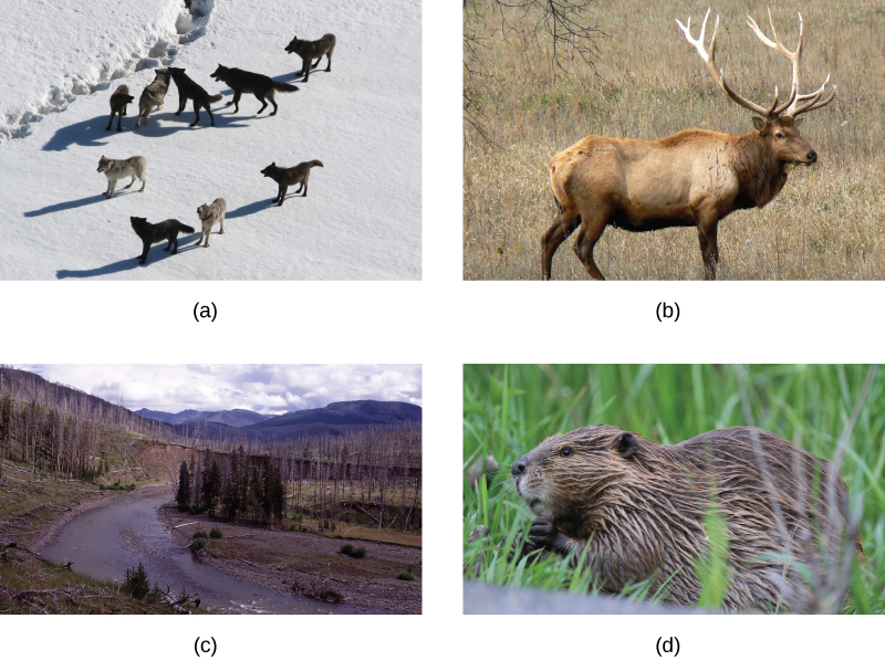 [alt] Photo A shows a pack of wolves walking on snow. Photo B shows a river running through a meadow with a few copses of trees, some living and some dead. Photo C shows and elk, and photo d shows a beaver.