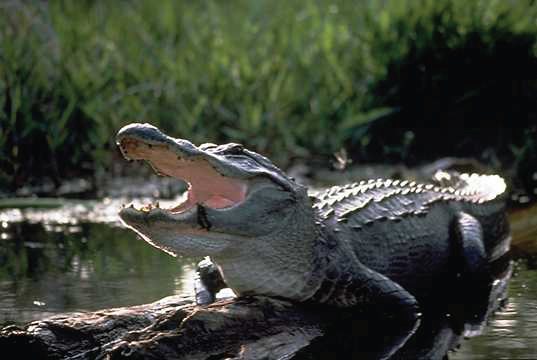 An American alligator, mouth wide, is sunning itself on a log above a stream. The sun shines on the slick spikey back of the alligator whose pink tongue can be seen surrounded by a perimeter of teeth in a gaping jaw.