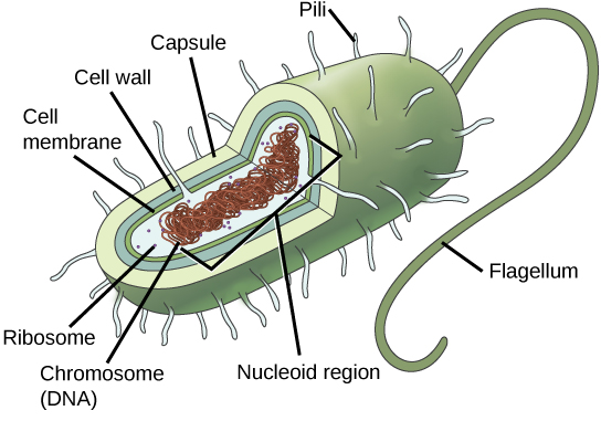 In this illustration, the prokaryotic cell has an oval shape. The circular chromosome is concentrated in a region called the nucleoid. The fluid inside the cell is called the cytoplasm. Ribosomes, depicted as small circles, float in the cytoplasm. The cytoplasm is encased by a plasma membrane, which in turn is encased by a cell wall. A capsule surrounds the cell wall. The bacterium depicted has a flagellum protruding from one narrow end. Pili are small protrusions that project from the capsule in all directions.