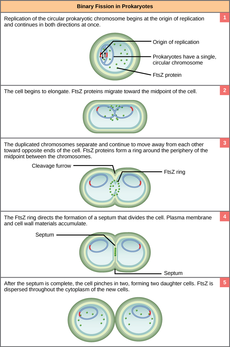 This illustration shows binary fission in prokaryotes. Replication of the single, circular chromosome begins at the origin of replication and continues simultaneously in both directions. As the DNA is replicated, the cell elongates and FtsZ proteins migrate toward the center of the cell, where they form a ring. The FtsZ ring directs the formation of a septum that divides the cell in two once DNA replication is complete.