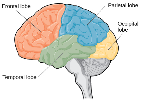Day 04 the brain and spinal cord lobes of the brain an illustration shows the four lobes of the brain ccuart Choice Image