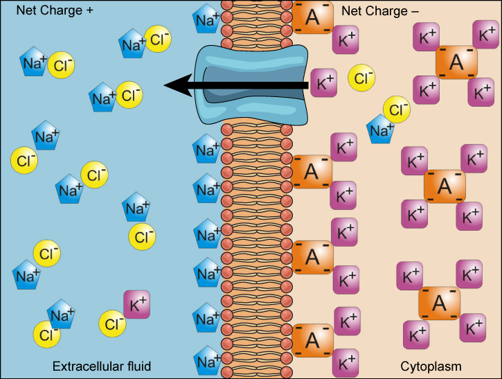 Simple Diffusion Across Cell Membrane furthermore The Blood Flow Of ...
