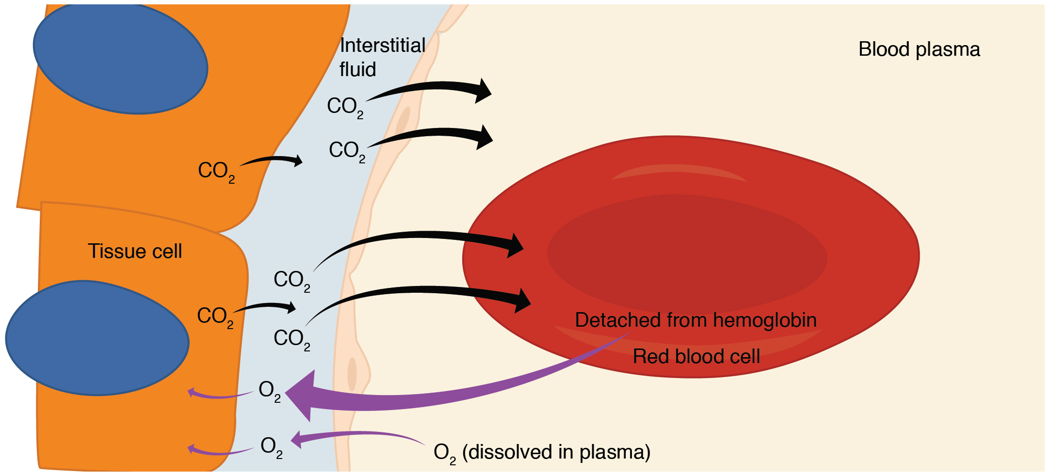 This diagram details the pathway of internal respiration. The exchange of oxygen and carbon dioxide between a red blood cell and a tissue cell is shown.
