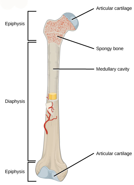 Bones Of The Body As Physical Education