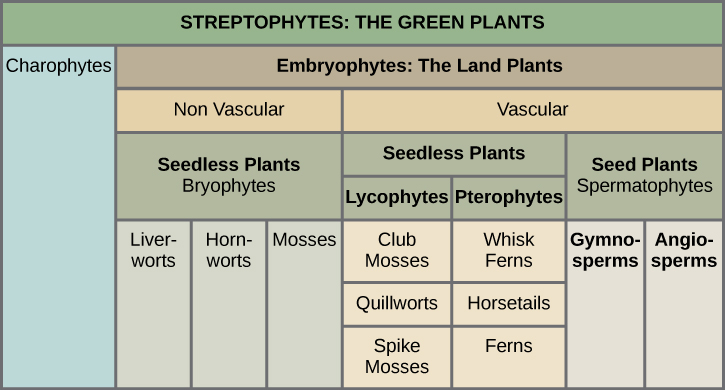Table shows the division of Streptophytes: the green plants. This group includes Charophytes and Embryophytes. Embryophytes are land plants, which are subdivided into vascular and nonvascular plants. Nonvascular plants are all seedless, and are in the Bryophyte group, which is subdivided into liverworts, hornworts, and mosses. Vascular plants are divided into seedless and seed plants. Seedless plants are subdivided into Lycophytes, which include club mosses, quillworts, and spike mosses, and Pterophytes, which include whisk ferns, horsetails, and ferns. Seed plants are in the Spermatophyte group and consist of gymnosperms and angiosperms.