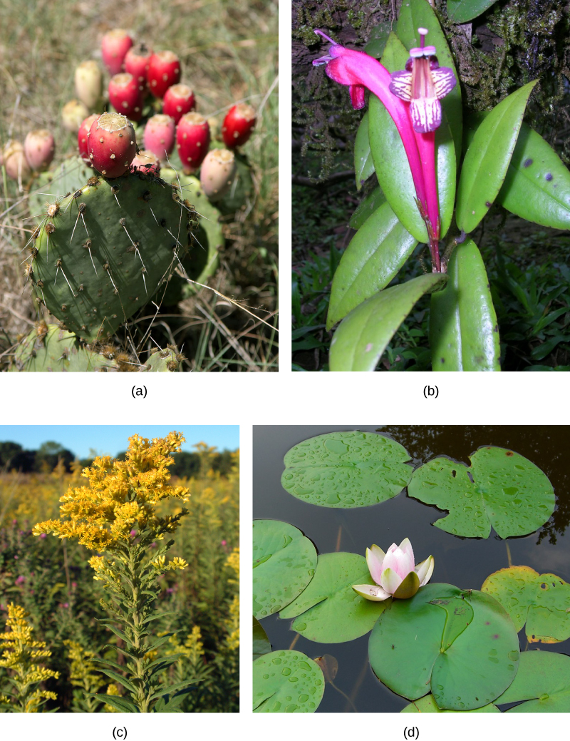 Photo (a) shows a cactus with flat, oval, prickly leaves and a red cylindrical fruit on top; (b) is an orchid with a purple and white flower and glossy leaves; (c) shows a field of plants with long stems, many leaves and a bushy head of small golden flowers; (d) is a water lily in a pond. The water lily has round, flat leaves and a pink and white flower.