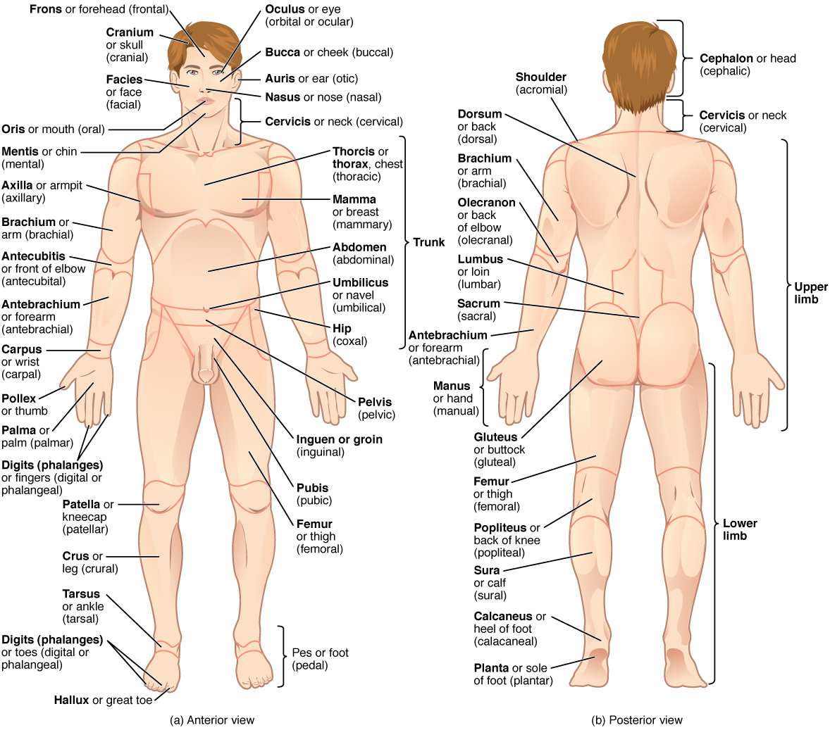 E-Book 05 - Anatomical Terminology: Anatomical Position