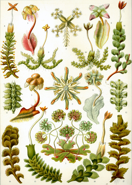 The illustration shows a variety of liverworts, which all share a branched, leafy structure.