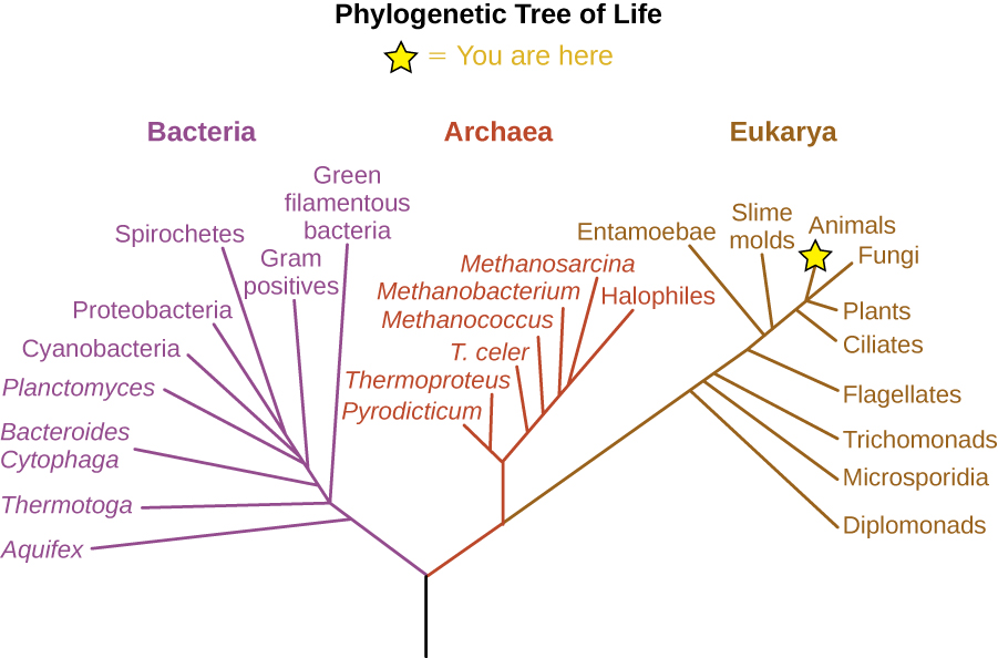 """The phylogenetic Tree of Life. A drawing of branching lines. The central line at the bottom branches into two main branches. On the left branch is the bacterial group. The branch to the right subdivides to the Archaea and Eukarya groups. Additional branches on the Eukarya group from bottom to top are: Diplomonads, Microsporidia, Trichomonads, Flagellates, Entamoebae, Smile molds, Ciliates, Plants, Fungi and Animals (which has a star labeled """"you are here). Brances along the Archaea group from bottom to top are: Pyrodicticu, Thermoproteus, T. celer, Methanococcus, Methanobacterium, Methanosarcina, and Halophiles. Branches in the Bacterial group from bottom to top are: Aquifex, Thermotoga, Green filamentous bacteria, Bacteroides Cytophaga, Gram positives, Planctomyces, Cyanobacteria, Proteobacteria, and Spirocheres."""