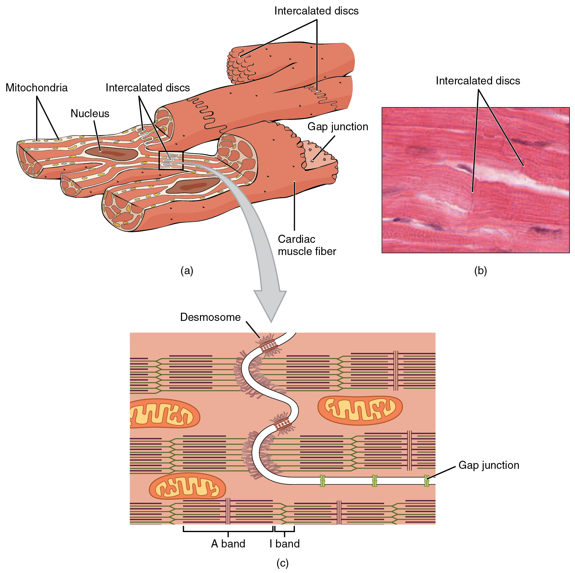 Cardiac muscle and heart function the top left panel of this figure shows the cross structure of cardiac muscle with the pooptronica