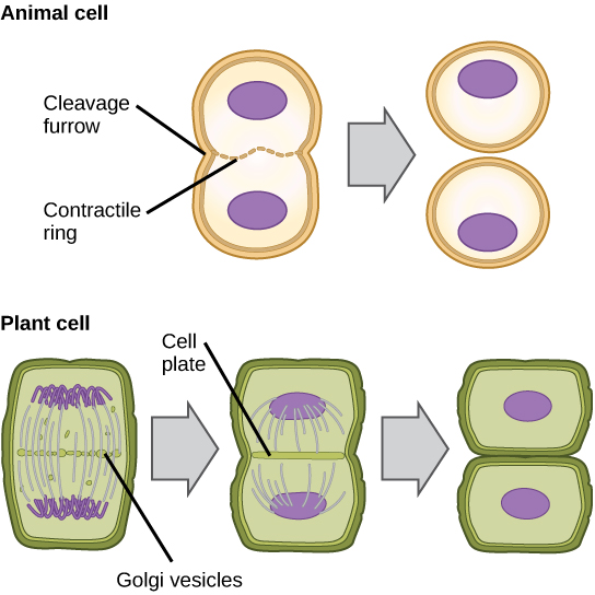 During cytokinesis in animal cells, a ring of actin filaments forms at the metaphase plate