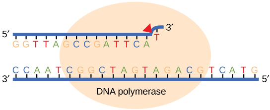 Proofreading by DNA polymerase corrects errors during replication