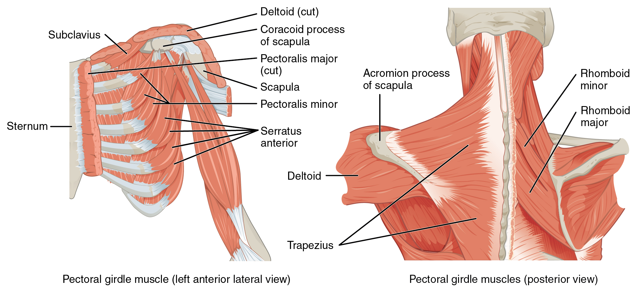 muscles of the pectoral girdle and upper limbs muscles that position the pectoral girdle