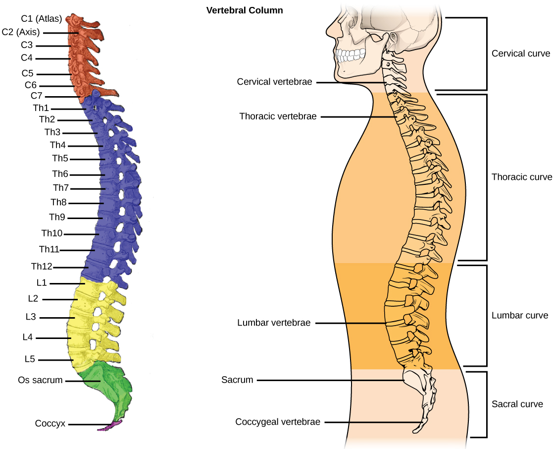 Types Of Skeletal Systems Boundless Biology