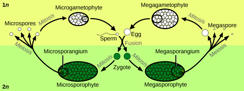 Illustration shows the life cycle of angiosperms, which includes a microgametophyte stage and a megagametophyte stage. The life cycle begins with the fusion of egg and sperm to form a zygote. The zygote undergoes mitosis, resulting in a male microsporophyte or a female megasporophyte. The microsporophyte has a cluster of cells called a microsporangium, and the megasporophyte has a cluster of cells called a megasporangium. Through meiosis, the microsporangium forms microspores, and the megasporangium forms megaspores. Both microspores and megaspores undergo mitosis, forming the microgametophyte and megagametophyte, respectively. Within the microgametophyte, the fusion of egg and sperm completes the cycle.