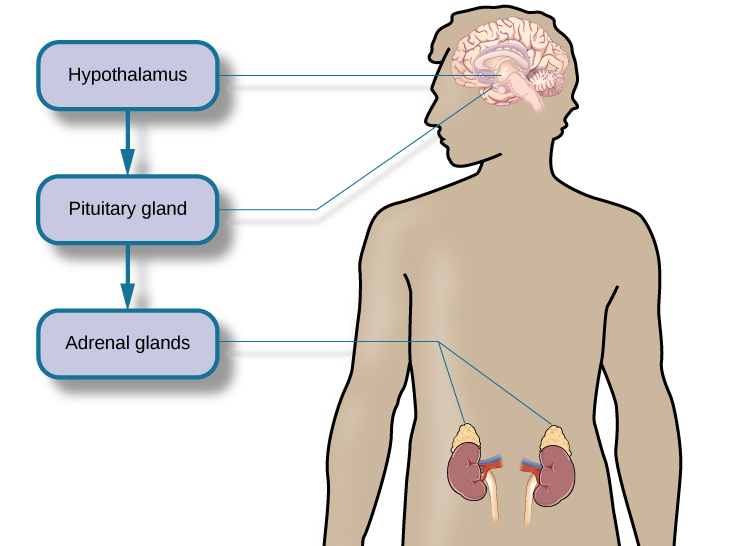 outline relationship between hypothalamus pituitary gland