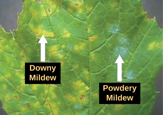 The photo shows a leaf infected with downy mildew (left) and powdery mildew (right). Where the leaf is infected with downy mildew, it is yellow instead of green. Powdery mildew appears as a white fuzz on the leaf.