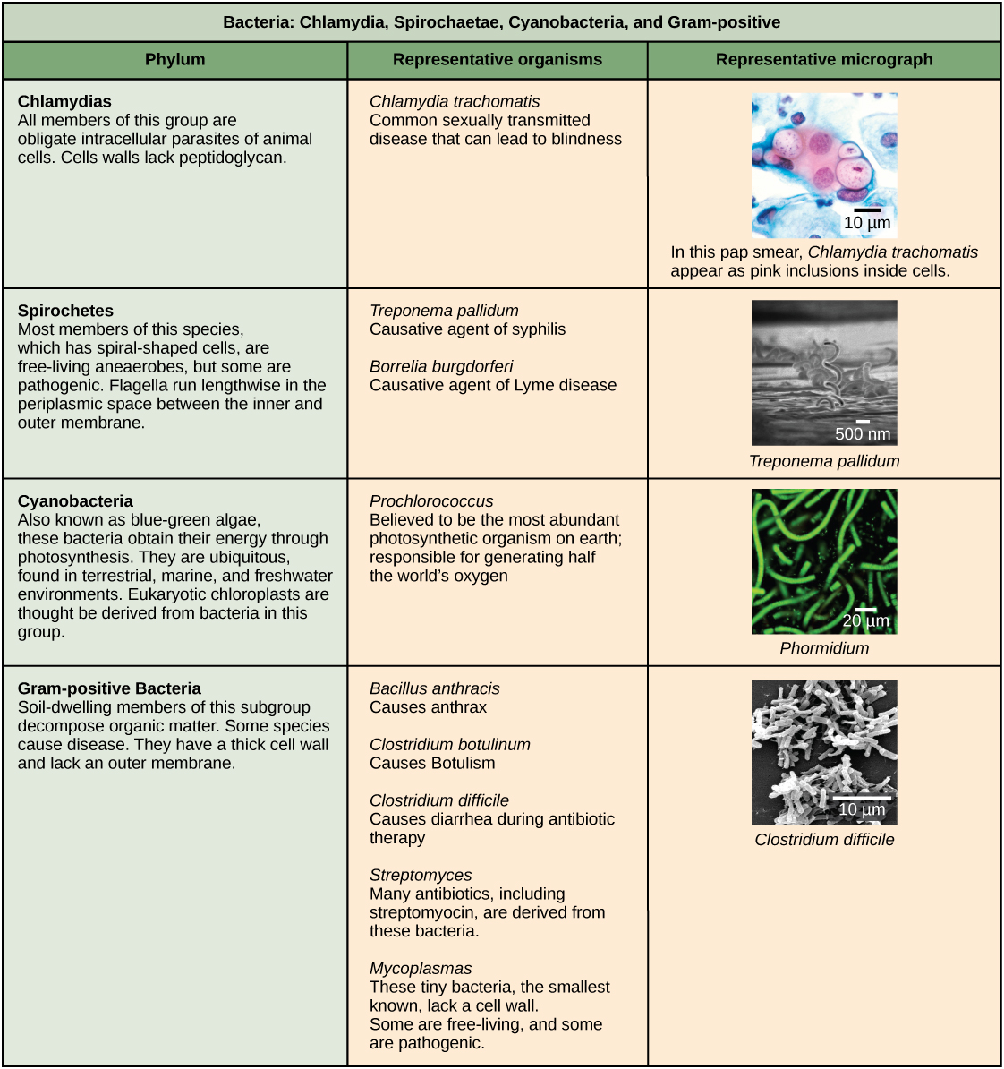 This table that describes four types of bacteria, Chlamydia, Spirochaetae, Cyanobacteria, and Gram-positive. The table is organized by phylum, their representative organisms, and a representative micrograph