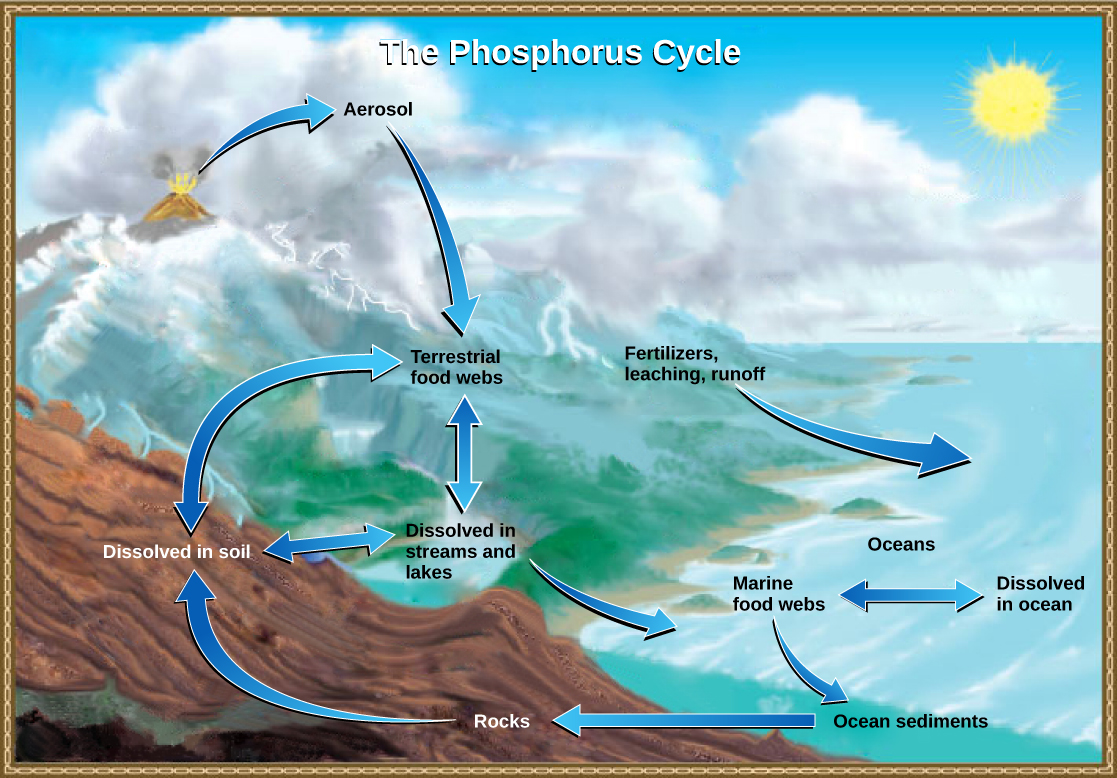 The illustration shows the phosphorus cycle. Phosphate enters the atmosphere from volcanic aerosols. As this aerosol precipitates to Earth, it enters terrestrial food webs. Some of the phosphate from terrestrial food webs dissolves in streams and lakes, and the remainder enters the soil. Another source of phosphate is fertilizers. Phosphate enters the ocean via leaching and runoff, where it becomes dissolved in ocean water or enters marine food webs. Some phosphate falls to the ocean floor where it becomes sediment. If uplifting occurs, this sediment can return to land.