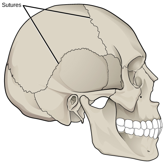 Illustration shows sutures that knit the back part of the skull together with the front and lower parts.