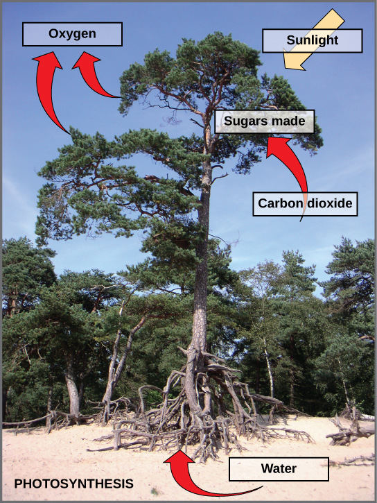 Photo of a tree. Arrows indicate that the tree uses carbon dioxide, water, and sunlight to make sugars and oxygen.