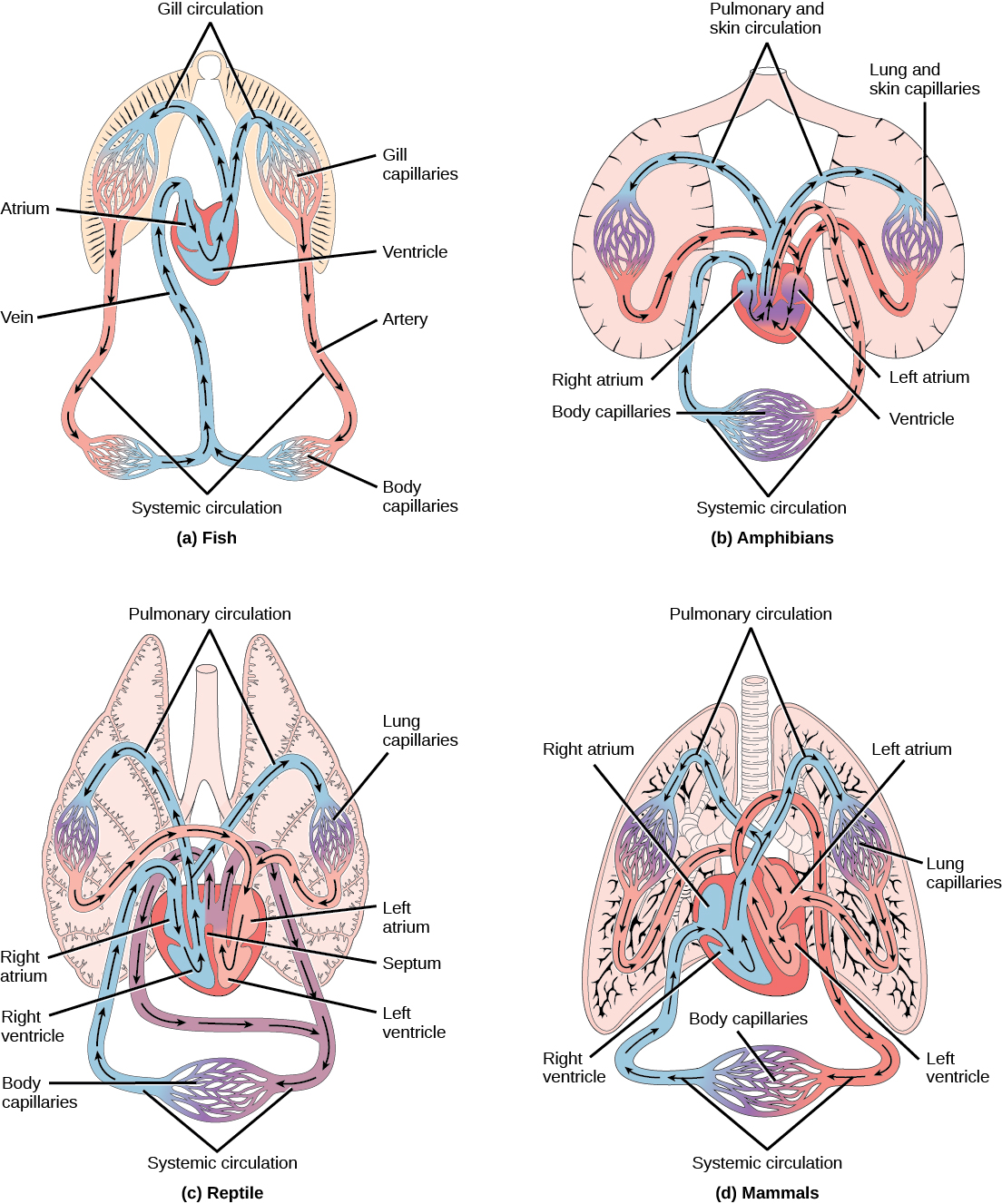 Overview of the Circulatory System | Boundless Biology