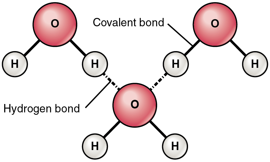 This figure shows three water molecules and the hydrogen bonds between them.