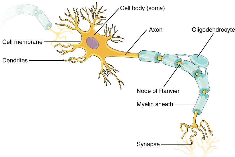 Review Of Basic Neuron Anatomy Human Physiology Openstax Cnx