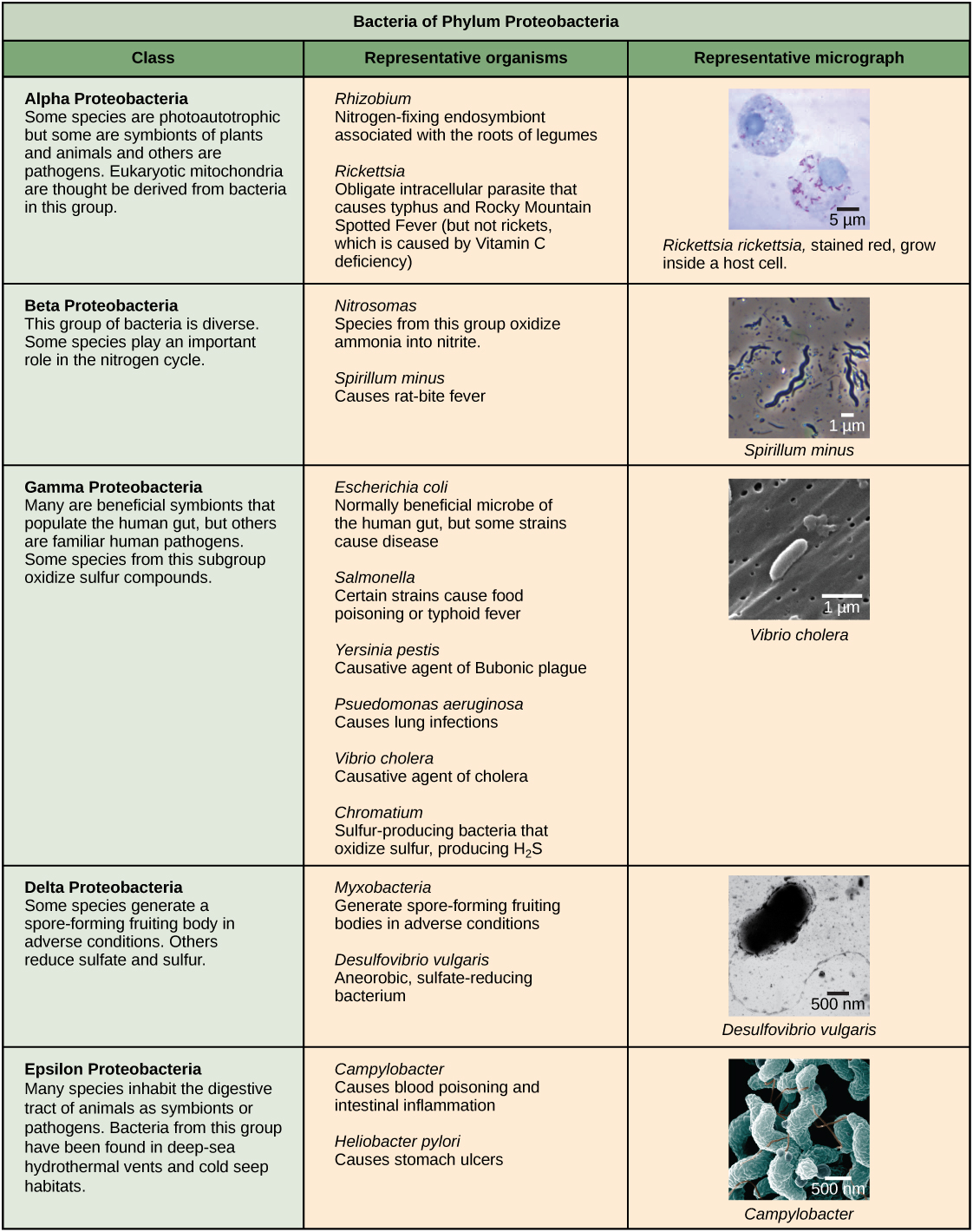 Structure Of Prokaryotes Biology Ii Prokaryotic Cell Diagram Chapter 11 Cells Introduction To Characteristics The Five Phyla Bacteria Are Described First Phylum Is Proteobacteria