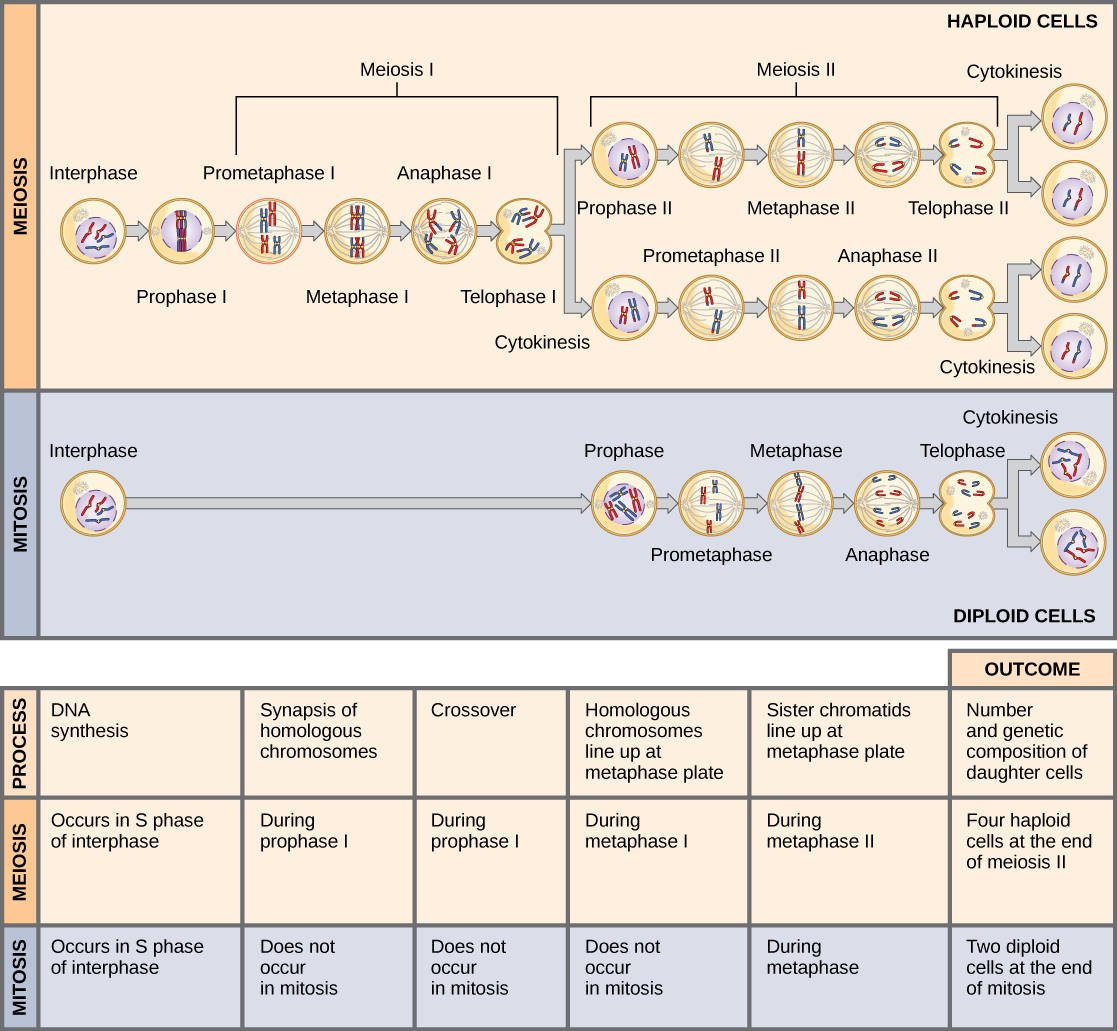 Compare Mitosis and Meiosis