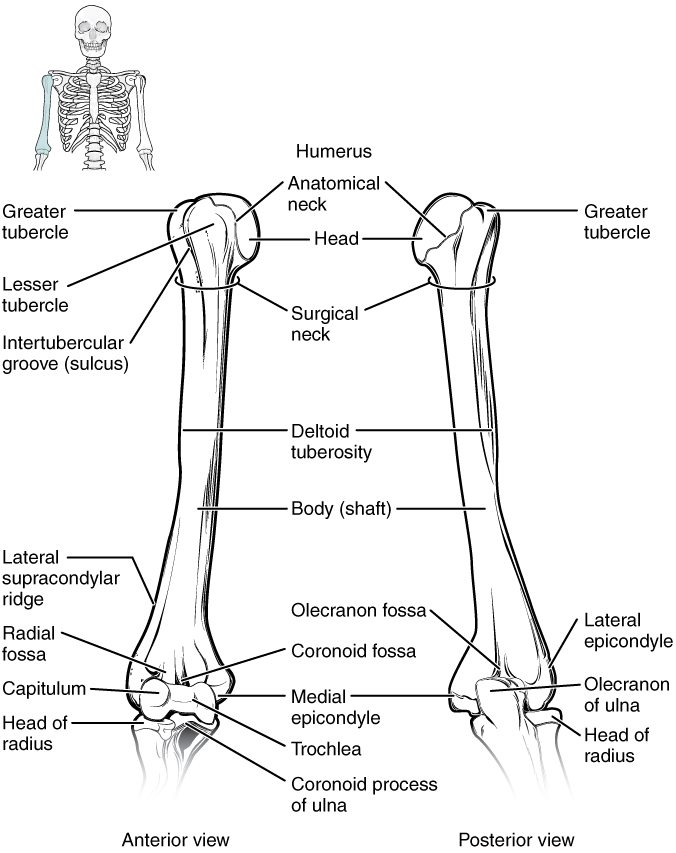 Bones of the Upper Limb - Anatomy & Physiology - OpenStax CNX