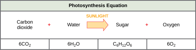 The photosynthesis equation is shown. According to this equation, six carbon dioxide and six water molecules produce one sugar molecule and six oxygen molecules. The sugar molecule is made of six carbons, twelve hydrogens, and six oxygens. Sunlight is used as an energy source.