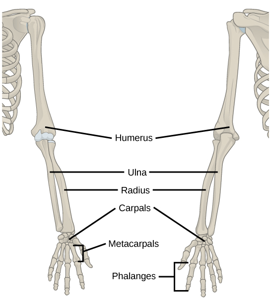 Illustration shows a skeletal human arm. The humerus is the bone of the upper arm. The radius is the thick bone in the forearm, and the ulna is the thin bone. The carpals are the bones of the wrist, the metacarpals are bones of the hand, and phalanges are bones of the fingers.